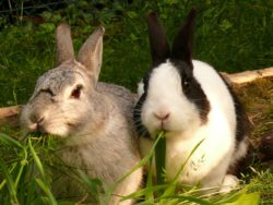 Male and Female Pet Rabbit